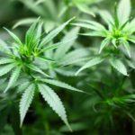 Mögliche Freigabe von Cannabis unter Experten umstritten