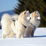 Jahrtausende alter Fernhandel formt sibirische Hunde